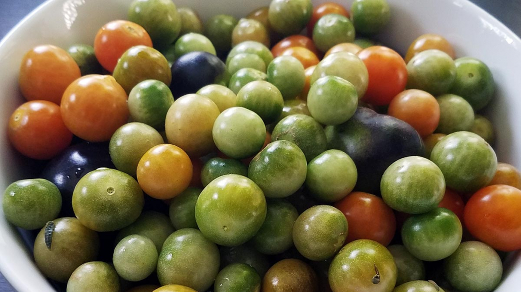 Homegrown Green Cherry Tomatoes harvested unripe